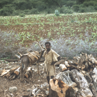 Eritreans moving firewood