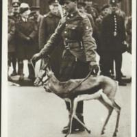 Victory march through London, 3rd May, 1919: the springbok mascot preceding the S. African Troops