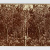 Stereoscopic card: [Gumtrees]