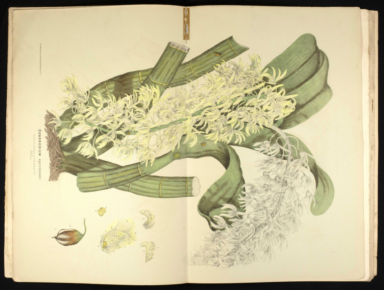 R. D. Fitzgerald's Australian Orchids, illustration