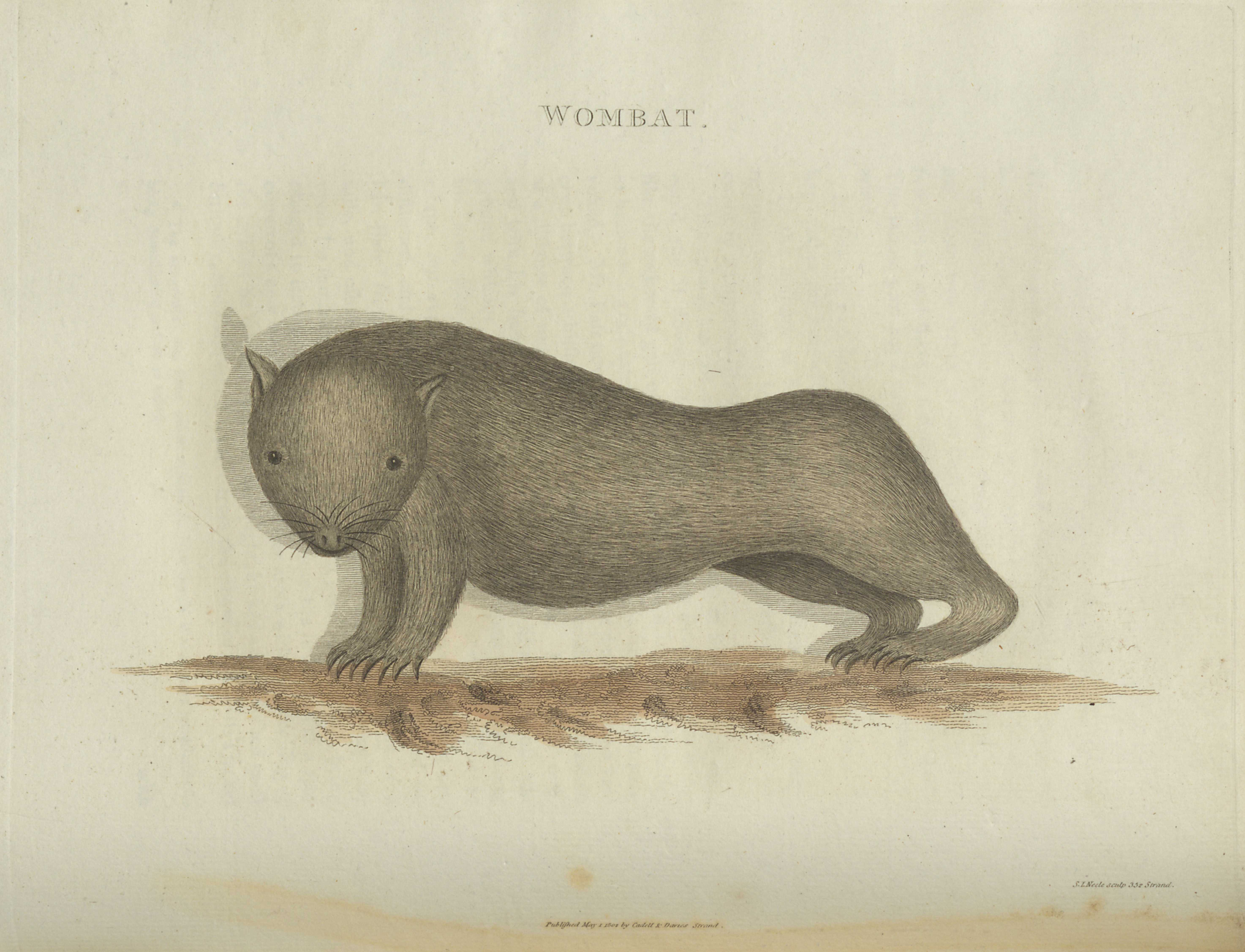 David Collins' An Account of the English Colony in New South Wales, wombat illustration