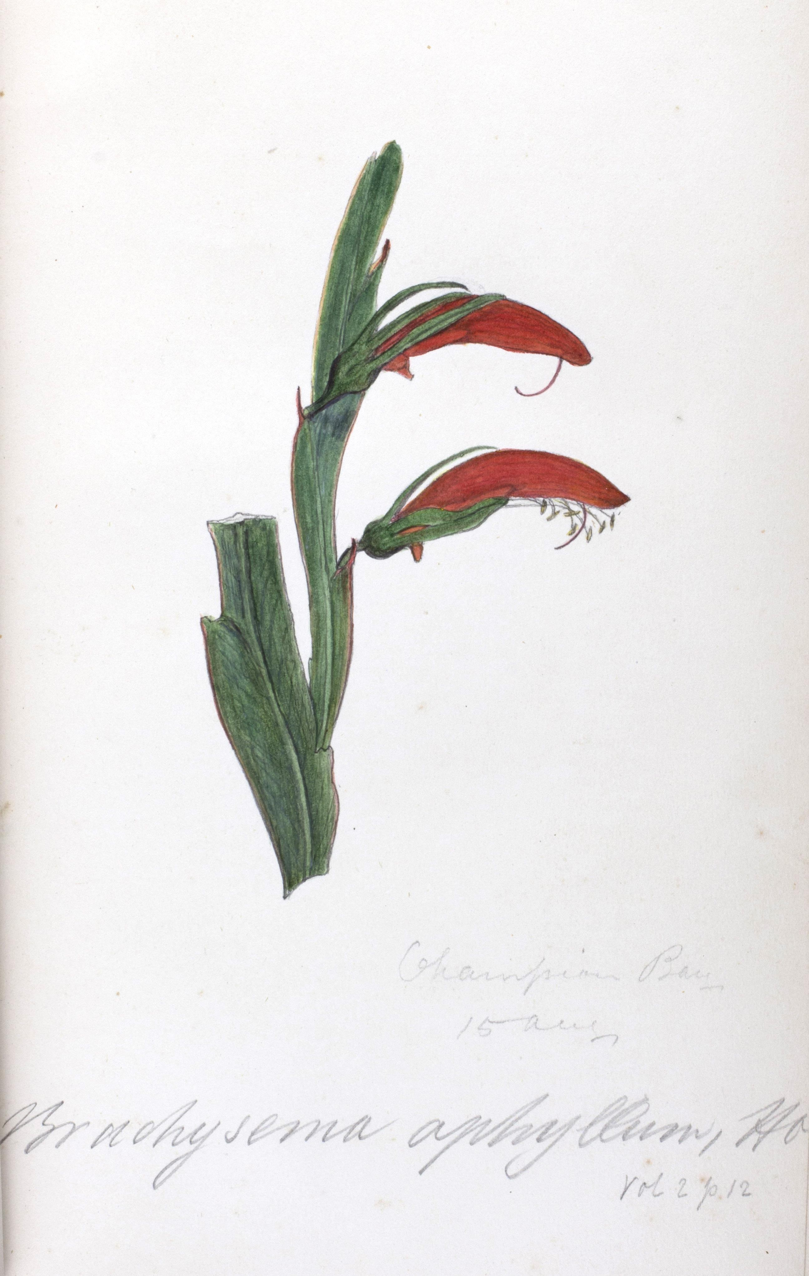 Ferdinand von Mueller and George Bentham's Flora Australiensis, illustration